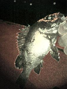 070217rockfish
